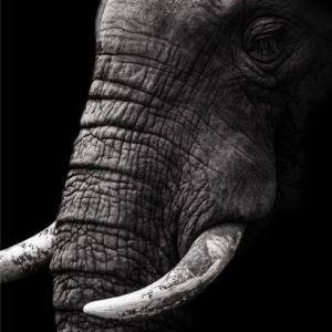 ELEPHANT buff for web 01